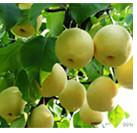 Quality Fruit Tree Insecticide Clofentezine 10% WP 25% SC acaricide CAS 74115-24-5 for sale