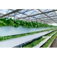 Quality Tomato Plant  Hydroponic Good Weather Resistance Agricultural Greenhouse for sale