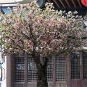 Romantic Big Artificial Blossom Tree Sakura Flower Supermarket Decoration for sale