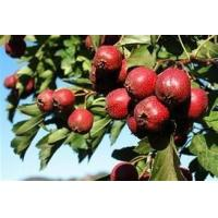 China Supply Best Quality Hawkthorn Berry Extract on sale