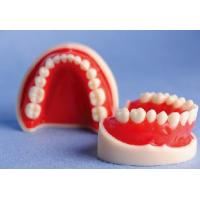 Quality White and Red Standard Upper and Lower Jaw Teeth Model for Schools Training for sale
