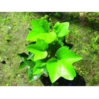 China Common ivy Hedera helix herb ivy league extract /HederanepalensisK, Kochvar.sinensis on sale
