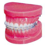 Quality Normal Fixed Orthodontic Model for Hospitals And Medical Schools Training for sale
