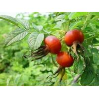 Quality Rose Hips Extract 100% natural Vitamin C, Vitamin E, Antioxidation, Skin repair function and Skin whitening for sale