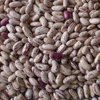 China Long Shape Light Speckled Kidney Beans on sale