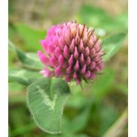 Red Clover Extract Isoflavone