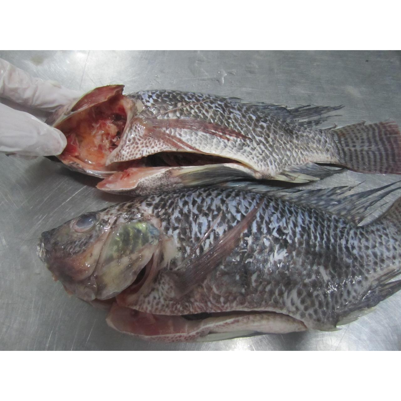 Quality Freshwater Frozen Tilapia WGGS for sale