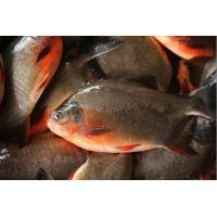 Quality Freshwater Frozen Red Pomfret for sale