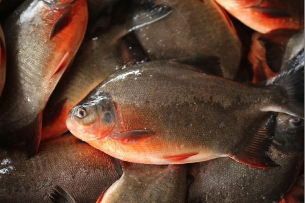 China Freshwater Frozen Red Pomfret