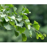 Quality Ginkgo Biloba extract for sale