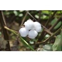 Buy cheap Cotton Quality from wholesalers