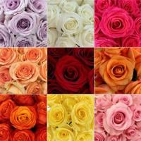 China Wholesale Bulk Roses 200 Stems Your Colors on sale