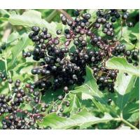 Buy cheap Elderberry Extract from wholesalers